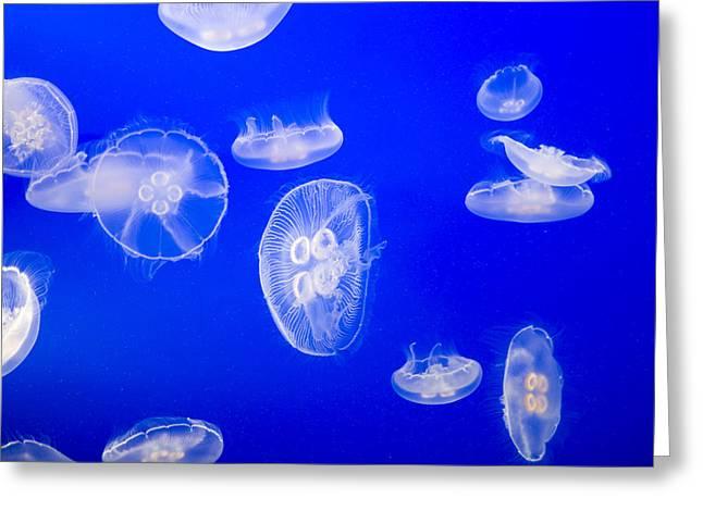 Moon Jellyfish Greeting Cards - Moon Jellyfish Aurelia Aurita Swim Greeting Card by Taylor S. Kennedy