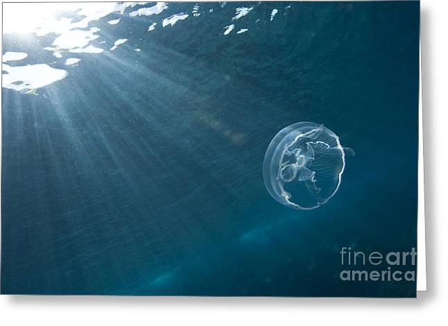 Moon Jellyfish Greeting Cards - Moon Jellyfish Greeting Card by Jean-Louis Klein & Marie-Luce Hubert