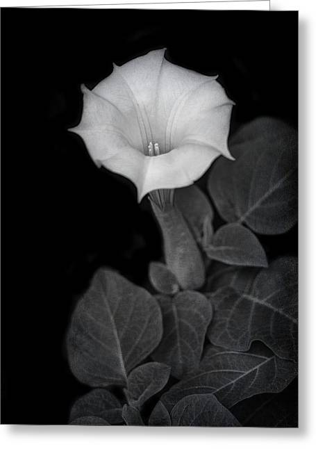 Moonflower - Black And White Greeting Card by Nikolyn McDonald