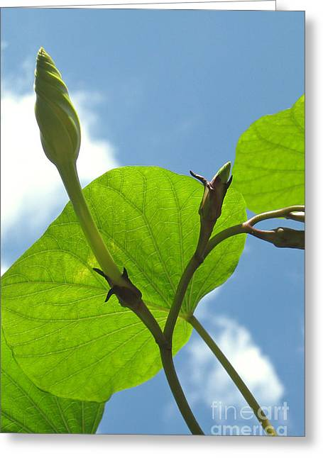 Curvy Beauties Greeting Cards - Moonflower Vine Bud to the Sky Greeting Card by Anna Lisa Yoder
