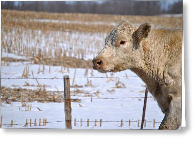 Cattle Run Greeting Cards - Moooovin Through  Greeting Card by Lisa Young