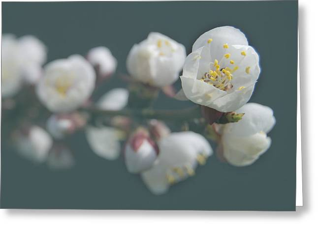 Apricot Tree Greeting Cards - Moorpark Apricot b 4212 Greeting Card by Michael Peychich