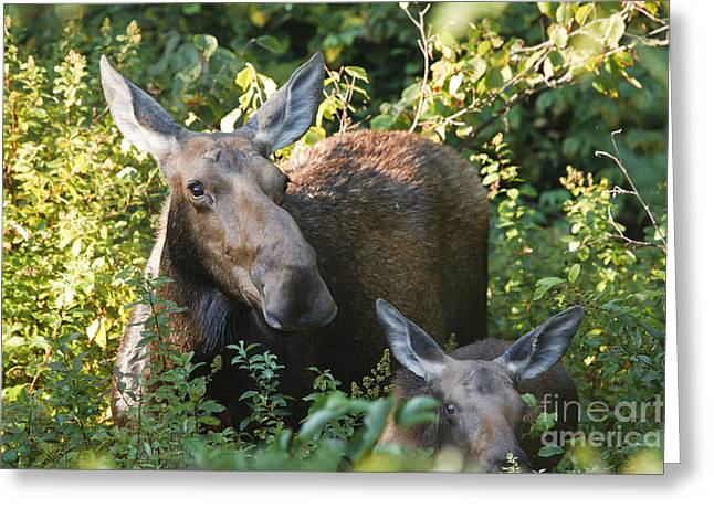 Moose - White Mountains New Hampshire  Greeting Card by Erin Paul Donovan