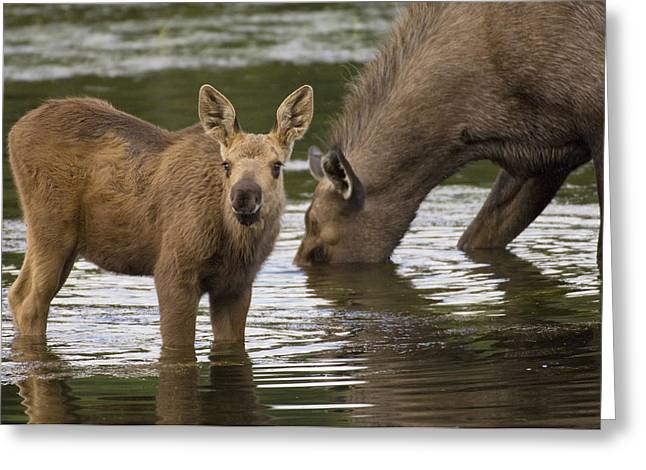 Three-quarter Length Greeting Cards - Moose Alces Americanus Mother And Calf Greeting Card by Michael Quinton