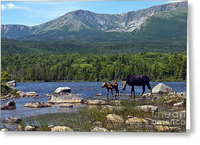 Moose Baxter State Park Maine 2 Greeting Card by Glenn Gordon