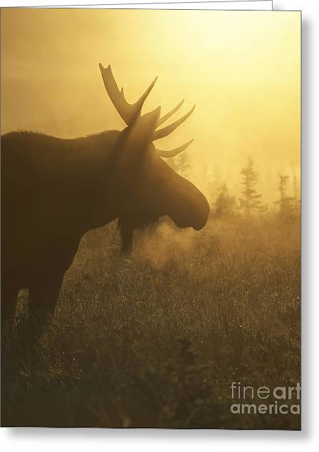 Moose Bull Greeting Cards - Moose in Mist Greeting Card by Tim Grams