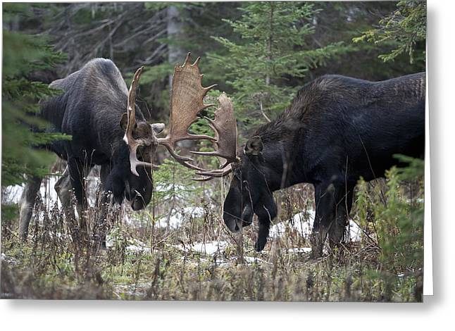Adversary Greeting Cards - Moose. Males Fighting During The Rut Greeting Card by Philippe Henry