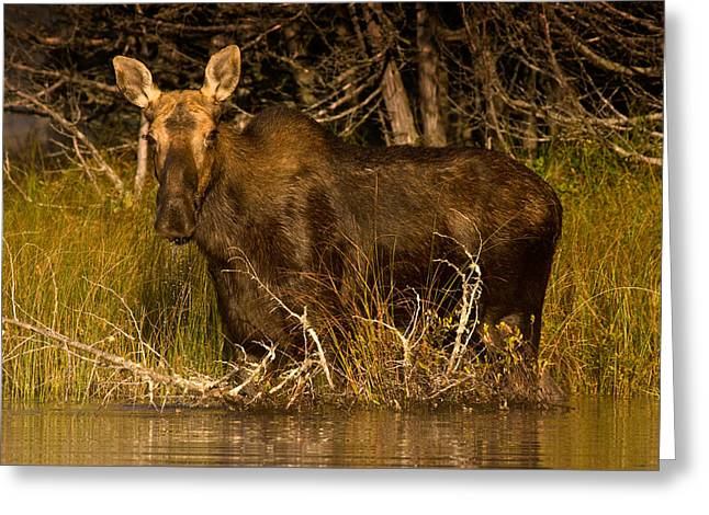 Brent L Ander Greeting Cards - Moose of Prong Pond Greeting Card by Brent L Ander