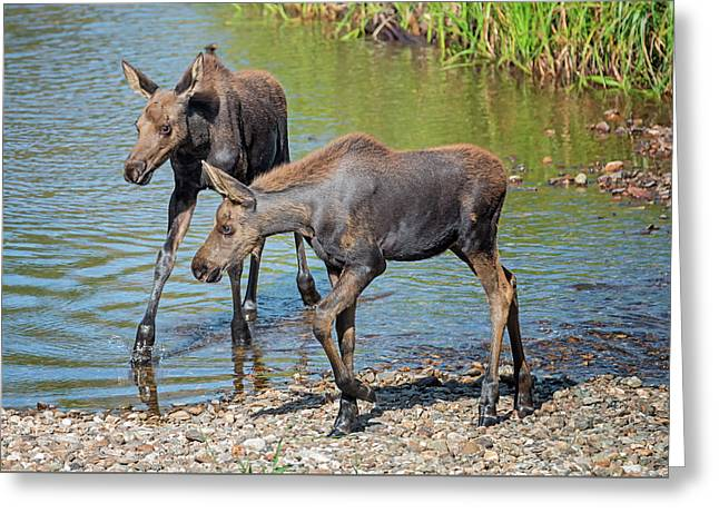 Moose Twins Greeting Card by Loree Johnson