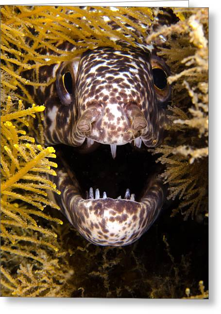 Snorkel Greeting Cards - Moray Fangs Greeting Card by Brent Barnes