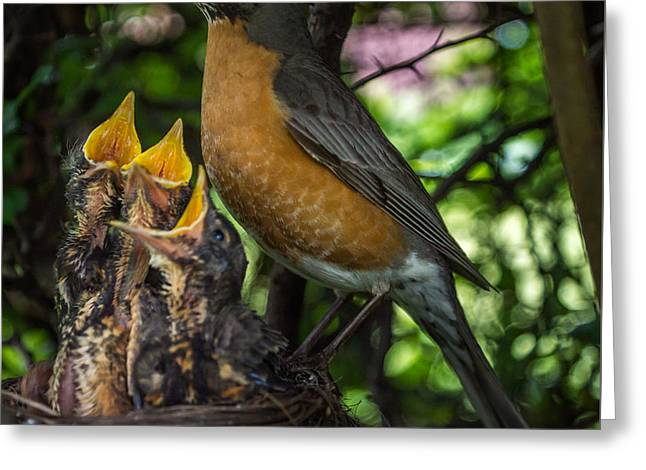 American Robin Greeting Cards - More Please Greeting Card by Chris Bordeleau
