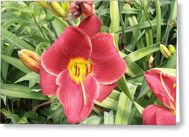 Green Day Greeting Cards - More Red Day Lily Greeting Card by Tim Donovan