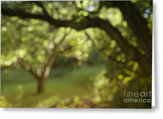 Apricot Tree Greeting Cards - Morning Bokeh Greeting Card by Theresa Tahara