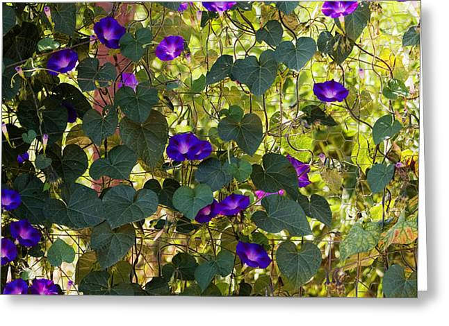 Morning Glories Greeting Card by Margie Hurwich