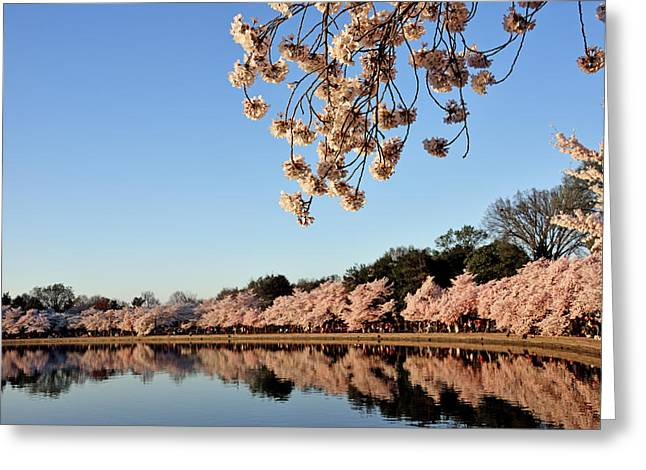 Cherry Blossom Festival Greeting Cards - Morning Light On Washington DC Cherry Blossom Trees Greeting Card by Brendan Reals