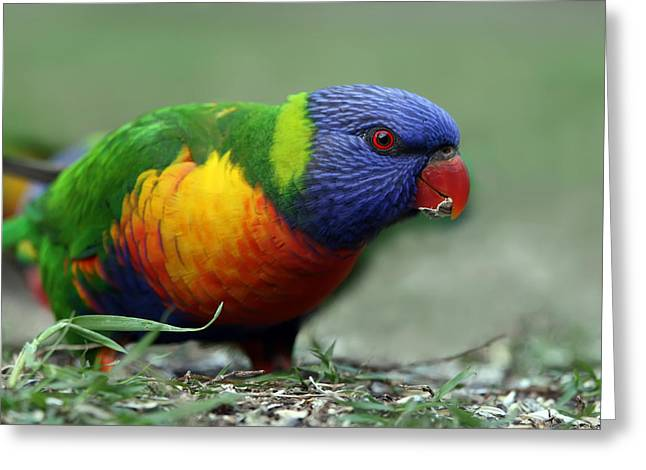 Rainbow Lorikeets Greeting Cards - Morning Snack Greeting Card by Lesley Smitheringale
