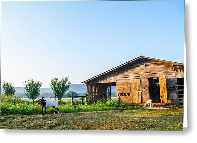 Love The Animal Greeting Cards - Morning Sun on a Goat Farm Greeting Card by Shelby  Young