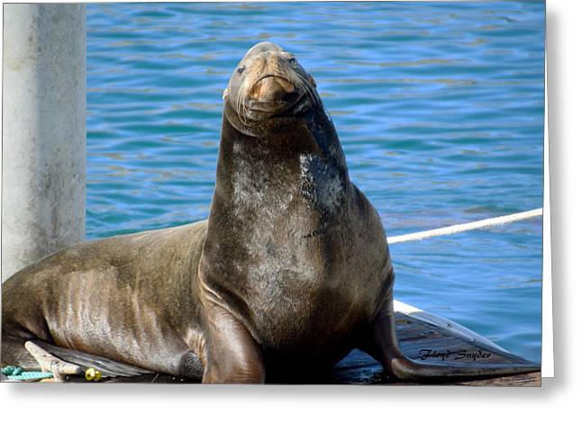 Morro Bay Harbor Seal Greeting Card by Floyd Snyder