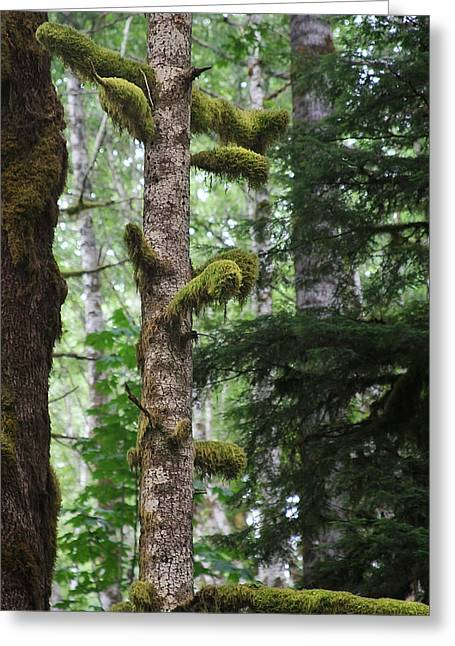 Home Design Greeting Cards - Moss-draped trees on Tiger Mountain WT USA Greeting Card by Christine Till