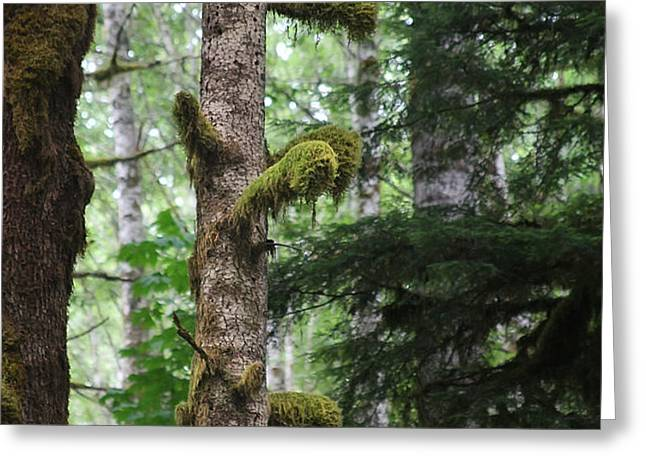 Moss-draped trees on Tiger Mountain WT USA Greeting Card by Christine Till