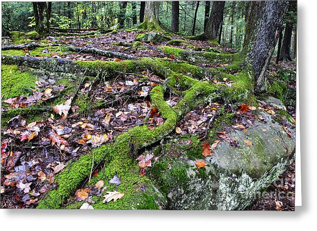 Tree Roots Greeting Cards - Moss Tree Roots Fall Color Greeting Card by Thomas R Fletcher