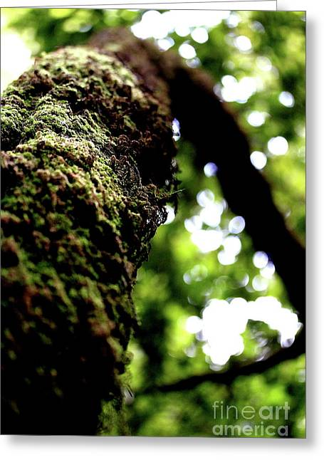 Mossy Trees Greeting Cards - Mossy Tree . 7D5405 Greeting Card by Wingsdomain Art and Photography