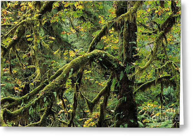 Lichen Covered Trees Greeting Cards - Mossy Tree Branches Greeting Card by Greg Vaughn - Printscapes