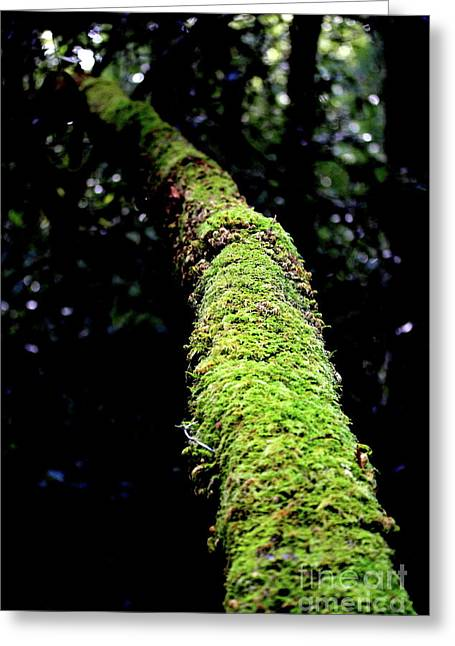 Mossy Trees Greeting Cards - Mossy Tree in the Wilderness. 7D5417 Greeting Card by Wingsdomain Art and Photography