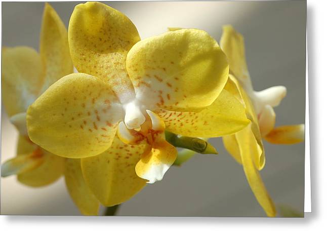 Brother Lawrence Greeting Cards - Moth Orchid - Phalaenopsis Brother Lawrence Greeting Card by Edward Loesch