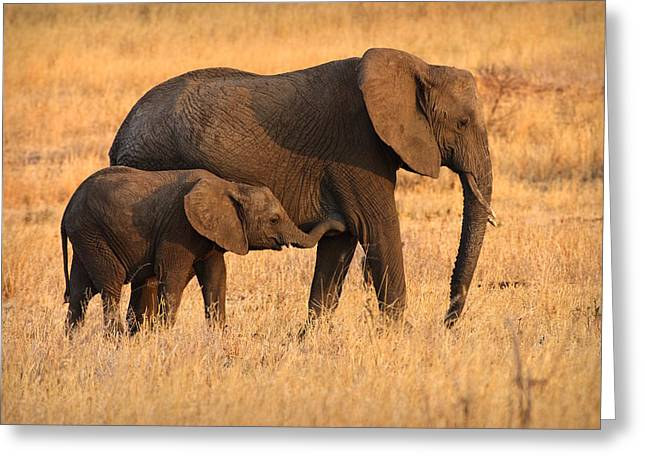 Girl Profile Greeting Cards - Mother and Baby Elephants Greeting Card by Adam Romanowicz