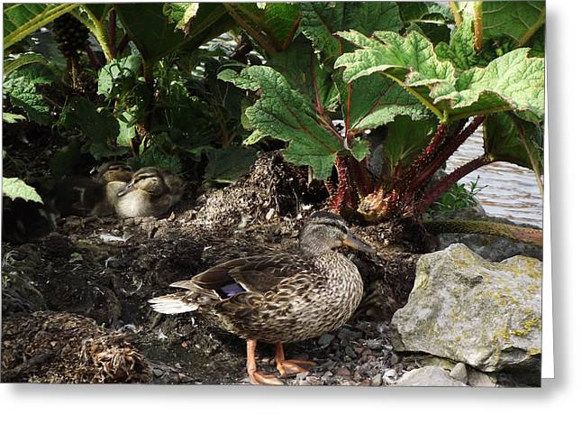 Mother And Ducklings Greeting Card by Dawn Hay