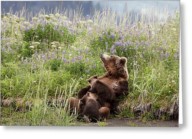 Mother Bear Nursing In All The Beauty Of Alaska Greeting Card by Linda D Lester
