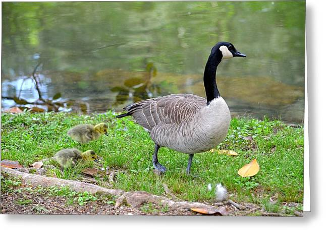 Mother Goose Greeting Cards - Mother Goose and Goslings Greeting Card by Maria Urso