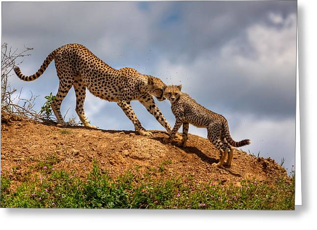 Cheetah Photographs Greeting Cards - Mother Love Greeting Card by Amnon Eichelberg