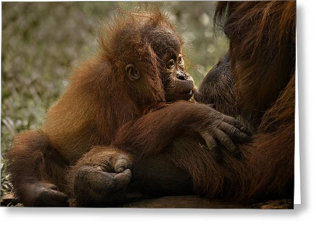 Orangutan Photographs Greeting Cards - Mothers Love Greeting Card by C.s.tjandra