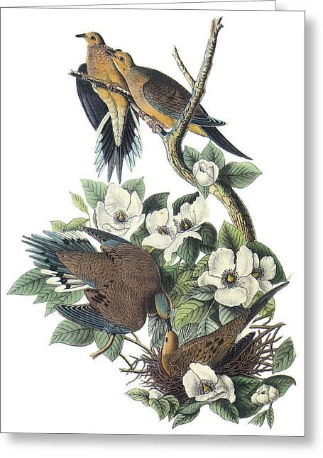Mourning Dove Greeting Cards - Mounring Dove Greeting Card by John James Audubon