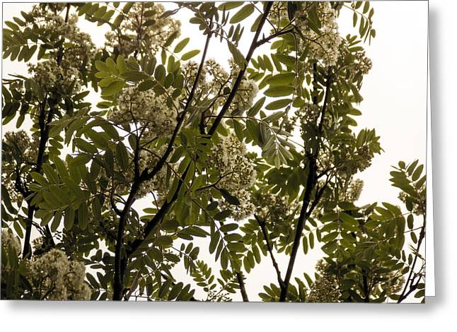 Maine Spring Greeting Cards - Mountain Ash and Sky Greeting Card by William Tasker