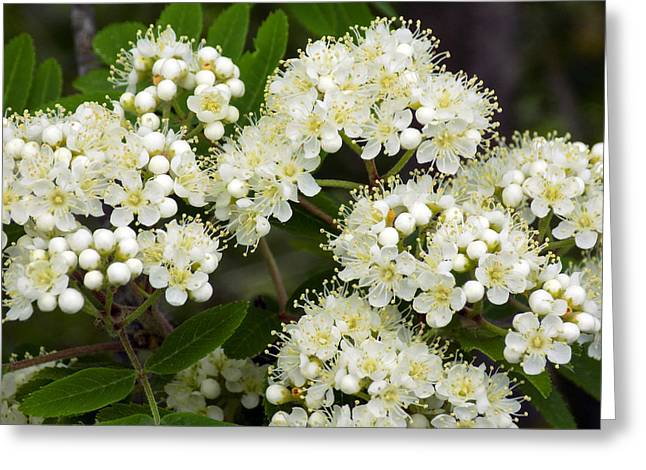 Maine Spring Greeting Cards - Mountain Ash Blossom Macro Greeting Card by William Tasker
