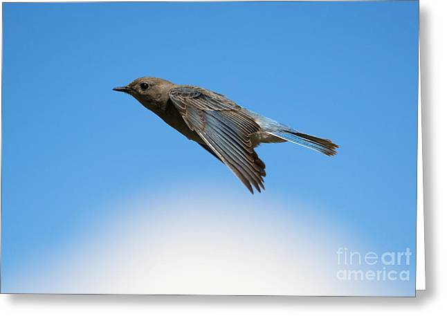 Glide Greeting Cards - Mountain Bluebird Glide Greeting Card by Mike Dawson