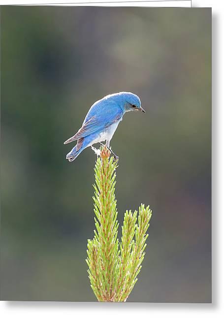 Mountain Bluebird Greeting Card by Loree Johnson