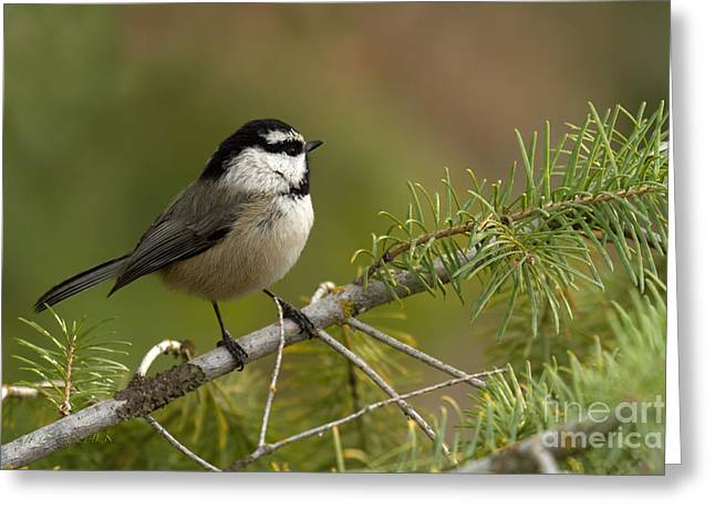 Mountain Chickadee Greeting Card by Reflective Moment Photography And Digital Art Images