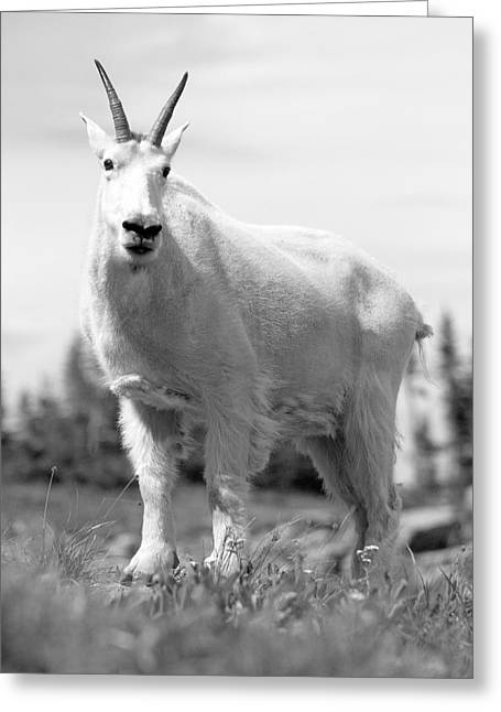 Mountain Goat Greeting Card by Sebastian Musial