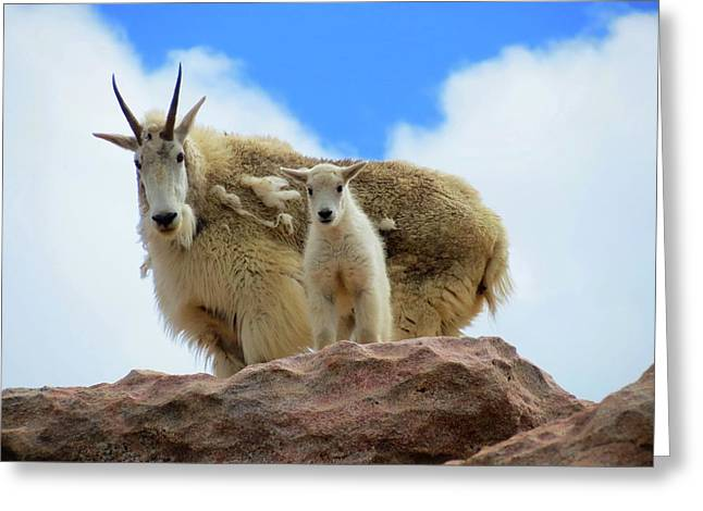 Mountain Goats Greeting Card by Connor Beekman