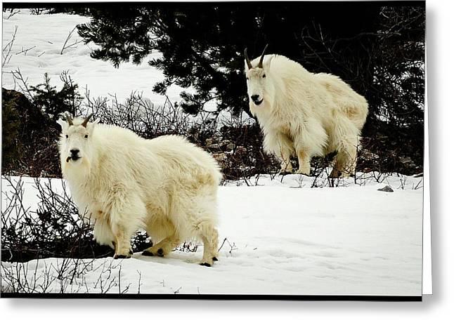 Tetons Greeting Cards - Mountain Goats Greeting Card by Greg Norrell