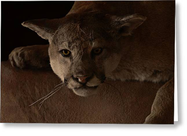 Creature Greeting Cards - Mountain Lion A Large Graceful Cat Greeting Card by Christine Till