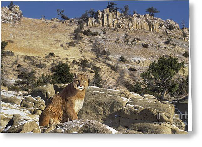 Dave Greeting Cards - Mountain Lion Felis Concolor Greeting Card by Dave Welling
