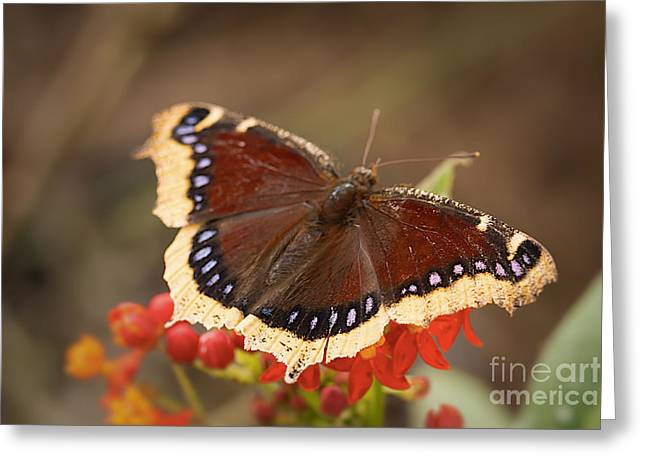 Mourning Cloak Butterfly Greeting Card by Ana V  Ramirez