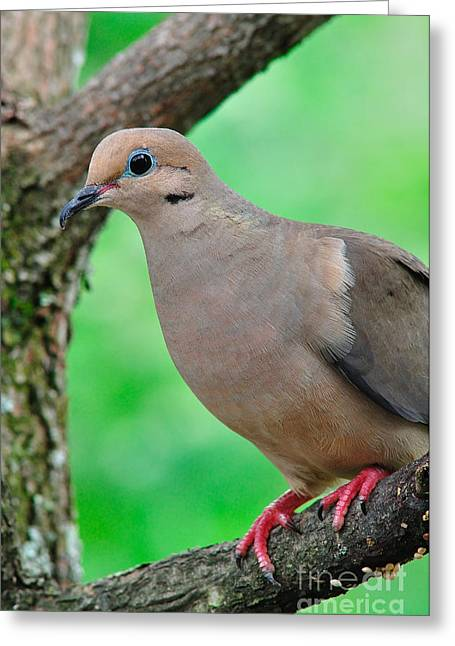 Mourning Dove Greeting Cards - Mourning Dove Greeting Card by Thomas R Fletcher