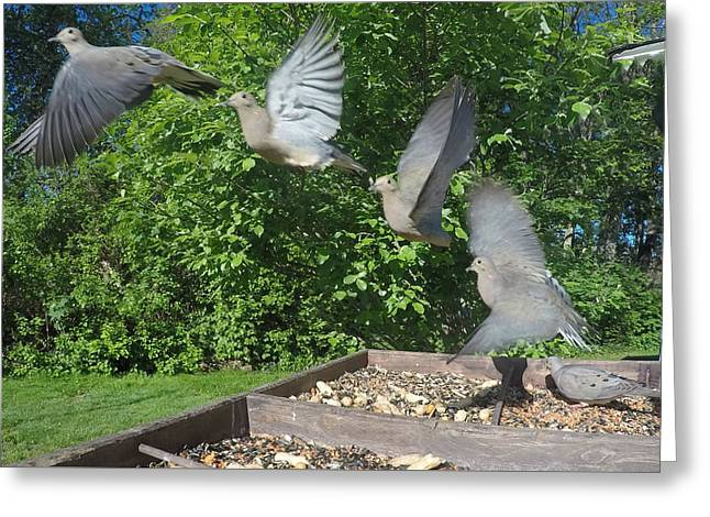 Flying Animal Greeting Cards - MourningDove taking off out of feeder Greeting Card by Raymond J Deuso