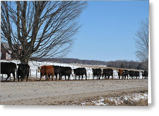 Cattle Run Greeting Cards - Moving Day Greeting Card by Lisa Young